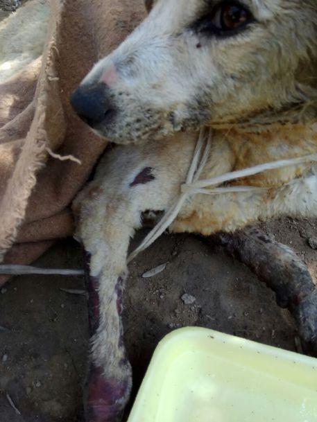 Cagnetta legata con un cappio al collo e trascinata Salvata da un volontario Enpa è in gravi condizioni