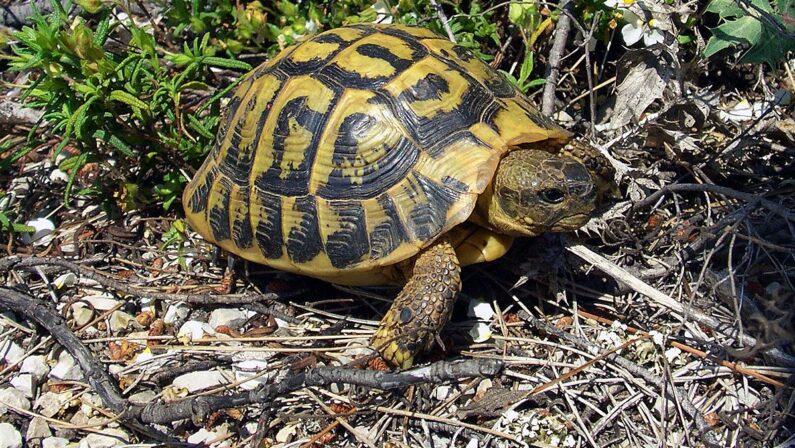 Tentano di vendere tartarughe a rischio estinzione, denunciati due coniugi nel Vibonese