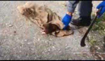 Sei cuccioli chiusi in un sacco a Oppido Mamertina  Il ritrovamento dei carabinieri nel Parco d'Aspromonte