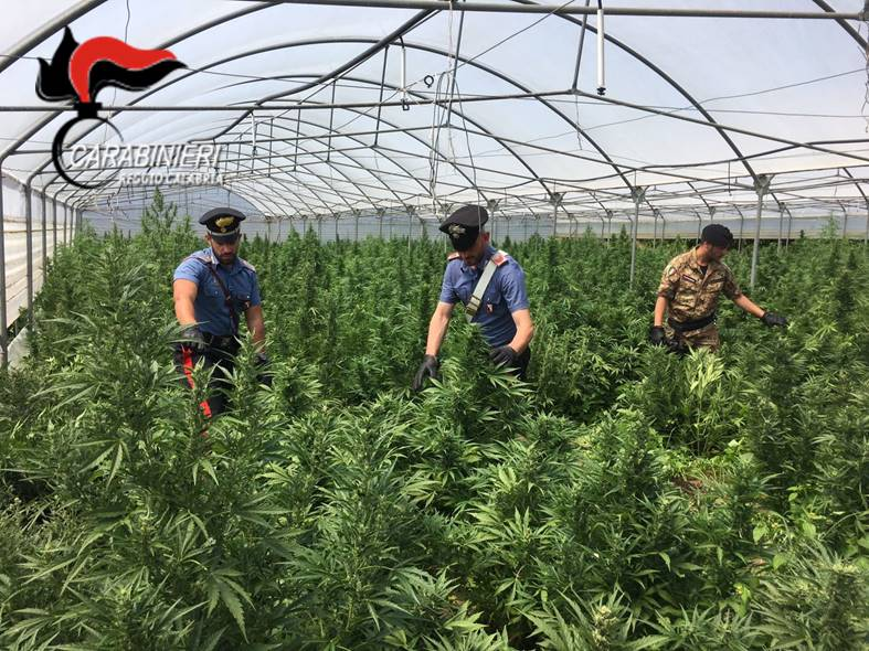 Tre serre coltivate con marijuana nel Reggino  Sequestrate 15.000 piante: valore di 1,5 milioni