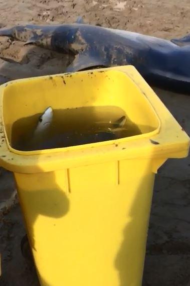 VIDEO - Squalo si spiaggia nel Cosentino e partorisce decine di cuccioli