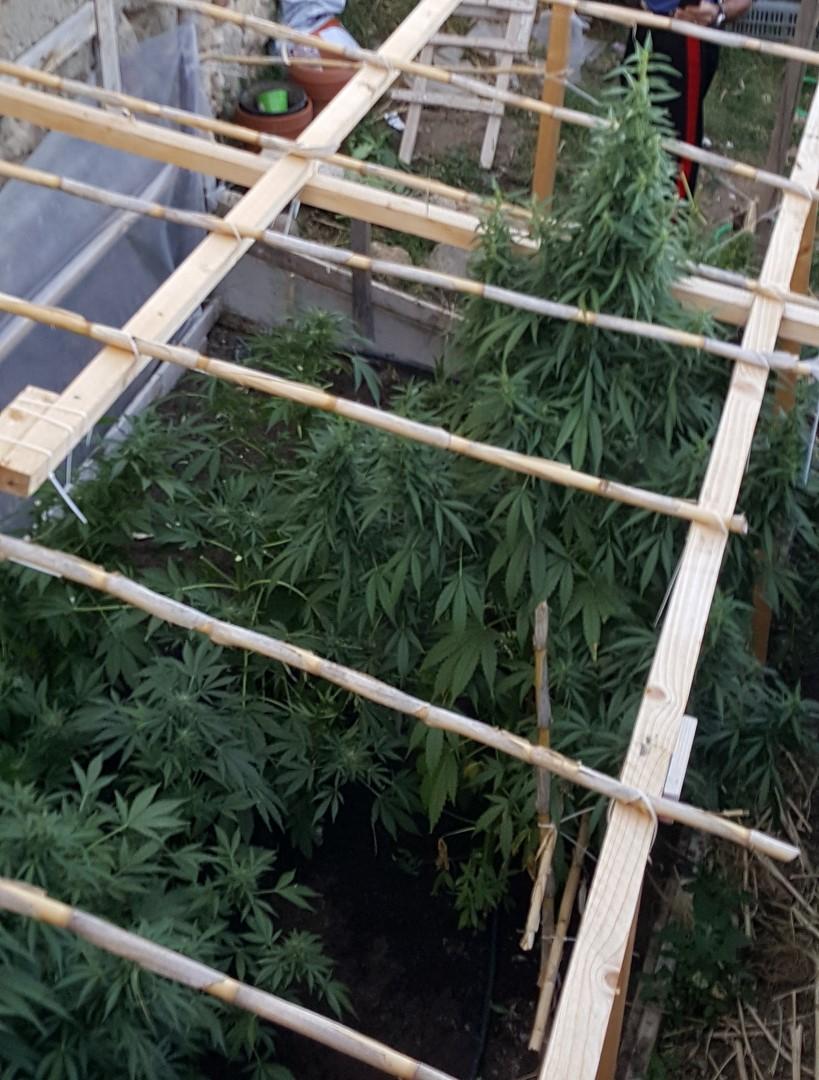 Nicotera, scoperta una piantagione di canapa in pieno centroDiverse piante alte 2 metri a un passo dalla Cattedrale