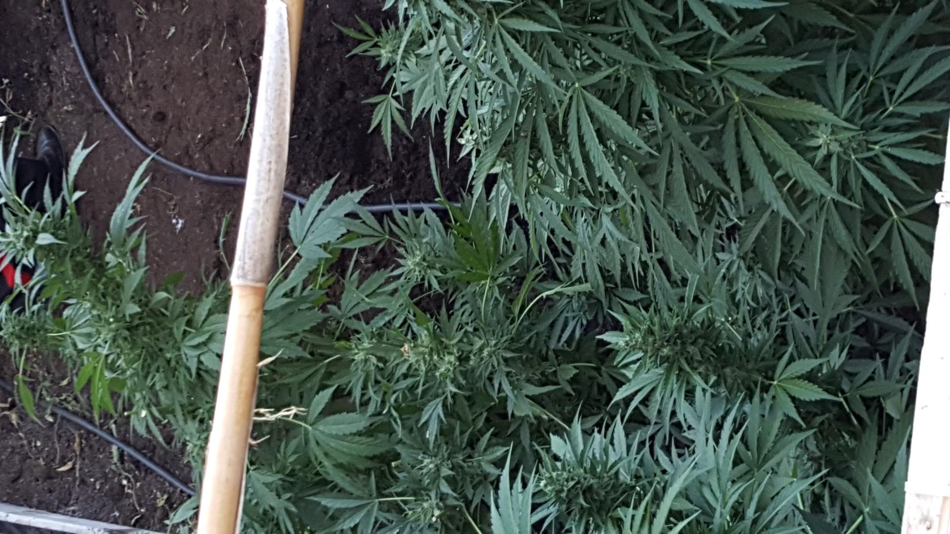 Scoperta coltivazione di canapa nei boschi del ViboneseOltre 650 piante che avrebbero fruttato 300 mila euro