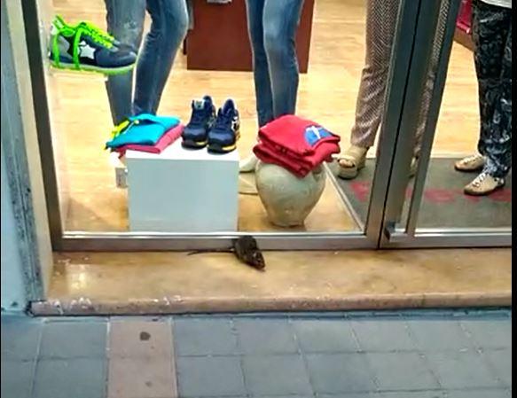 """VIDEO – Topo a spasso nel """"salotto buono"""" della città  a Paola semina il panico tra le commesse e i passanti"""