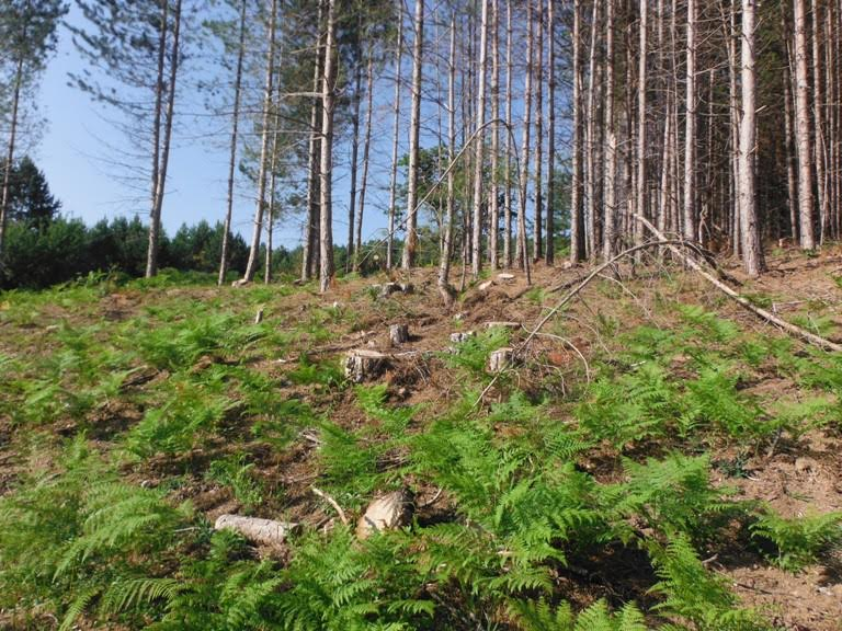 Oltre 400 pini abbattutti abusivamente in un terreno della provincia di Crotone: denunciate due persone