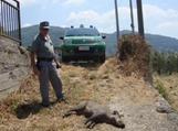 Uccidono un cinghiale con crudeltà nel CatanzareseQuattro persone denunciate dai carabinieri