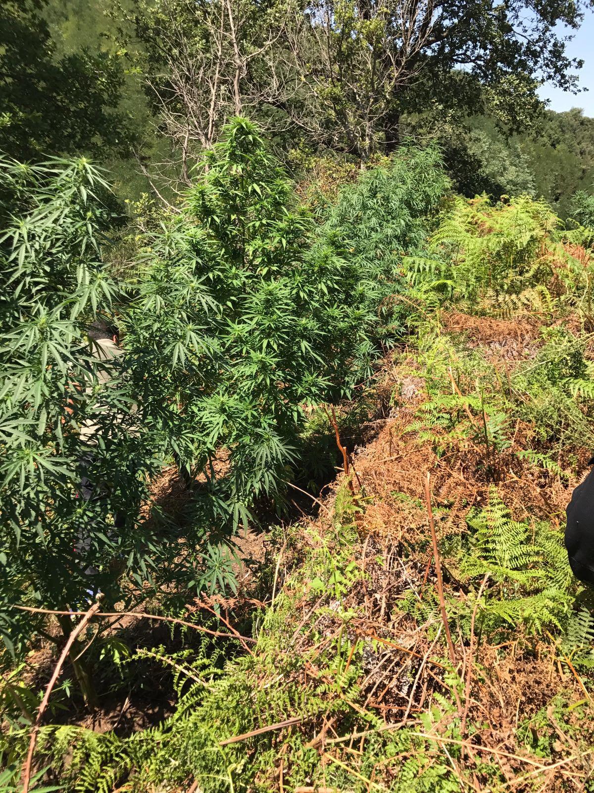 Tre tonnellate di marijuana sequestrate dai carabinieri in provincia di Vibo Valentia