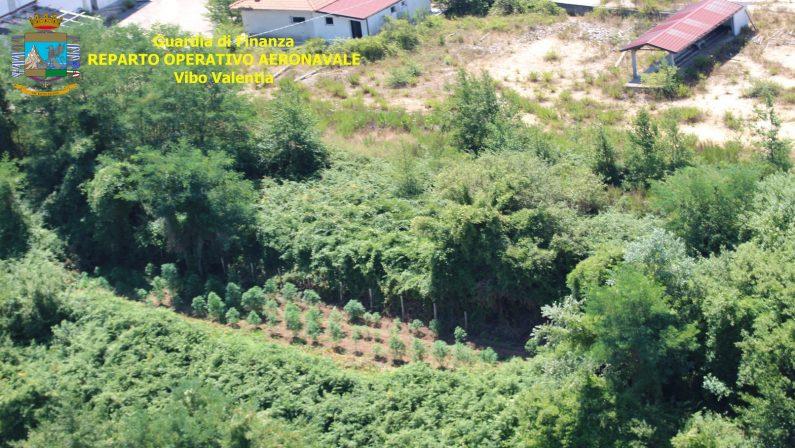 Venti quintali di canapa sequestrati nel ViboneseQuattro piantagioni individuate con l'elicottero