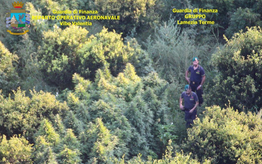 Cinque tonnellate di canapa scoperte nel Lametino  Se ne sarebbe ricavata marijuana per 5 milioni di euro