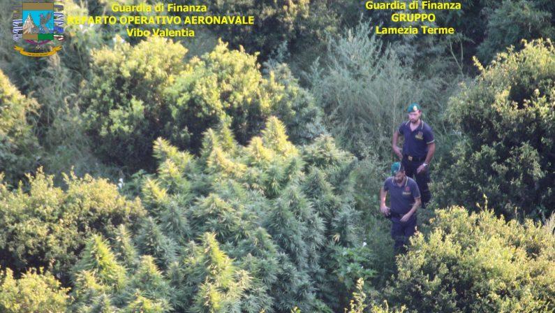 Piantagioni di marijuana su montagne del CatanzareseSequestrati 400 arbusti e denunciate due persone