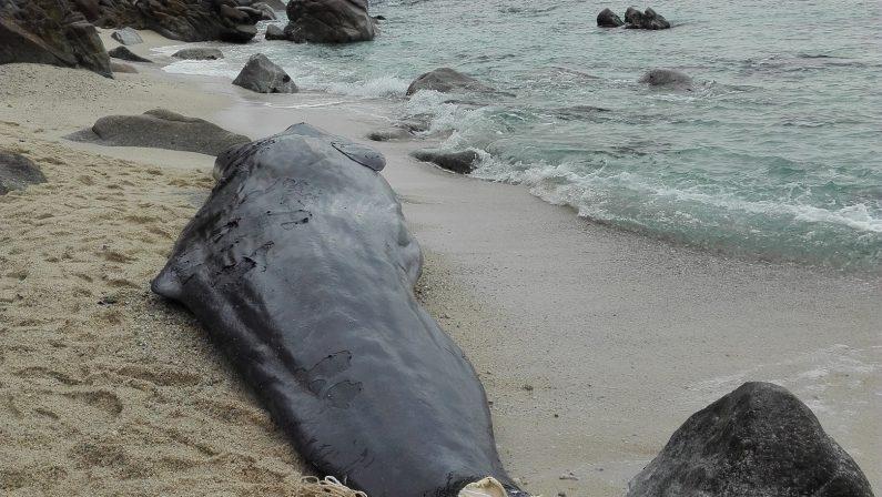 Esemplare di giovane Capodoglio morto in spiaggiaIl ritrovamento lungo il litorale del Vibonese
