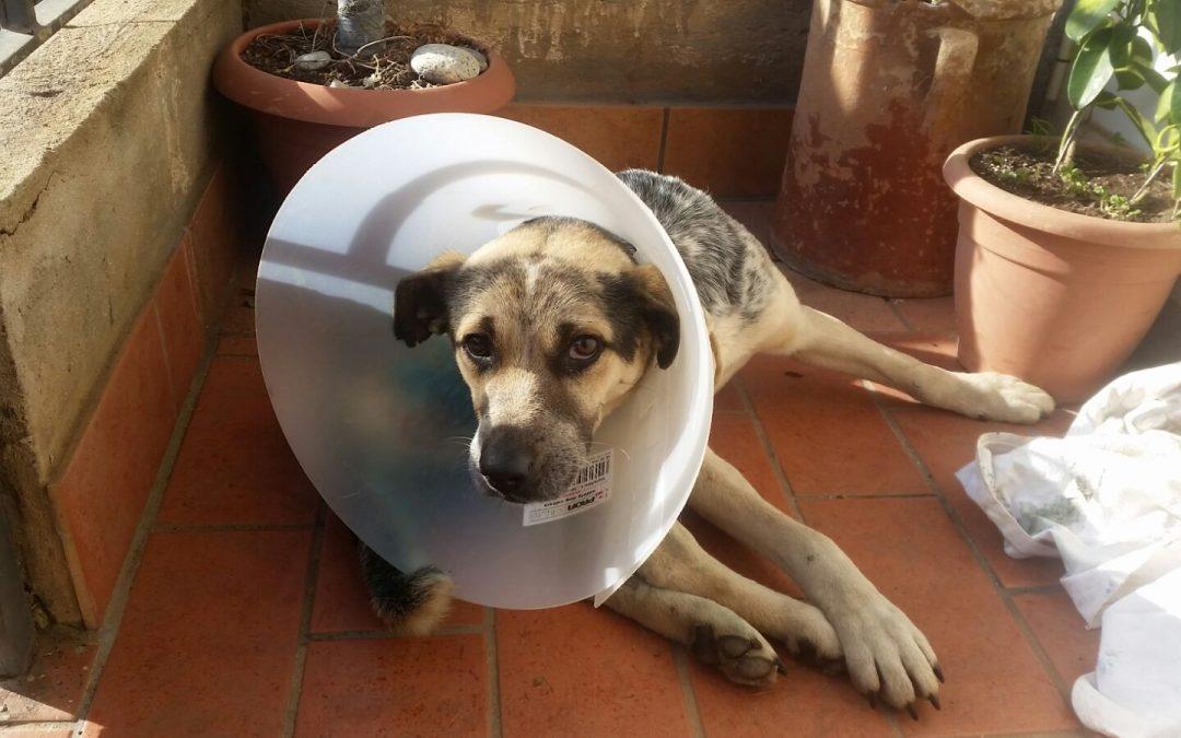 Il cane dopo e durante l'operazione