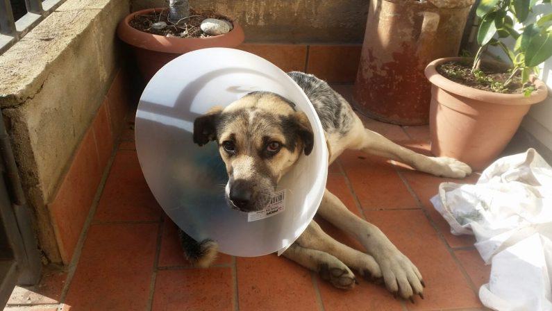 Cane ferito a colpi di armi da fuoco a Francica nel viboneseSalvato e adottato dalla comunità dopo un lungo intervento