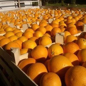 La 'ndrangheta controlla trasporti nell'agroalimentareAllarme Coldiretti:«Frutta sottopagata ad agricoltori»