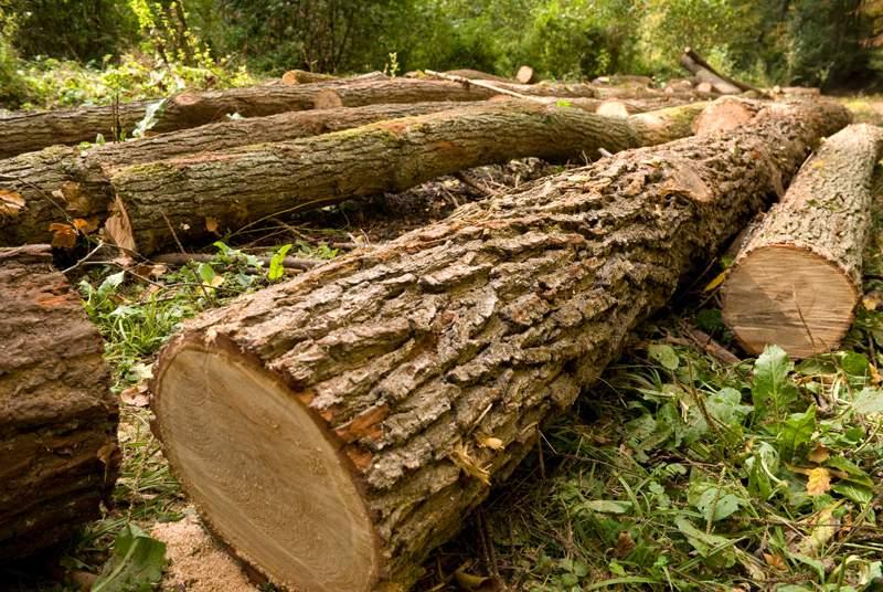 Un uomo schiacciato da un albero in provincia di Cosenza  La vittima stava tagliando la pianta che l'ha ucciso