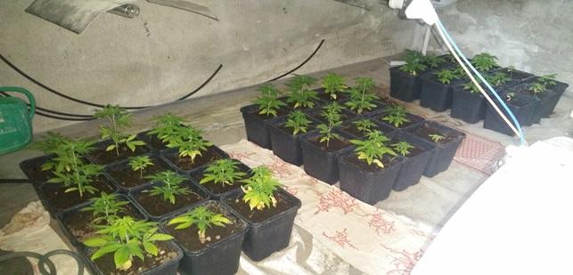 Alcune delle piante sequestrate
