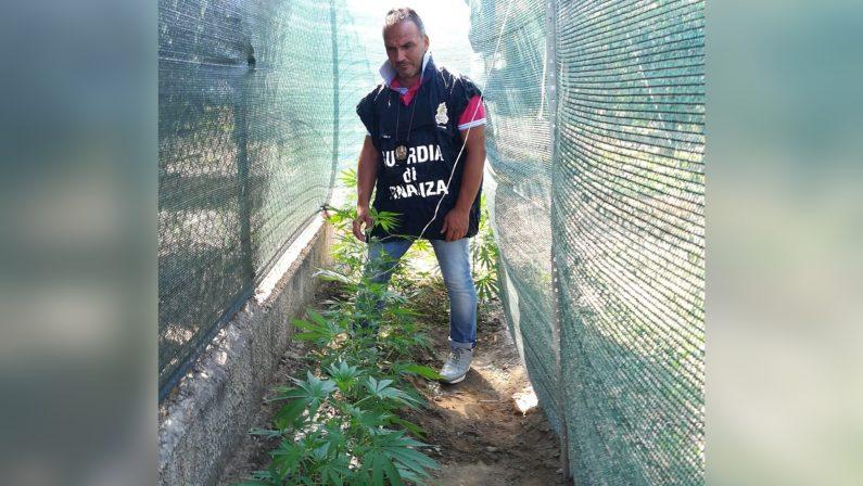 Rossano, coltivava marijuana nel giardino di casaUn arresto, le piante avrebbero fruttato 14 mila euro