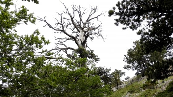 In Calabria l'albero più antico d'Europa: ha 1230 anniGrazie ad Italus preziose scoperte sulla storia della terra