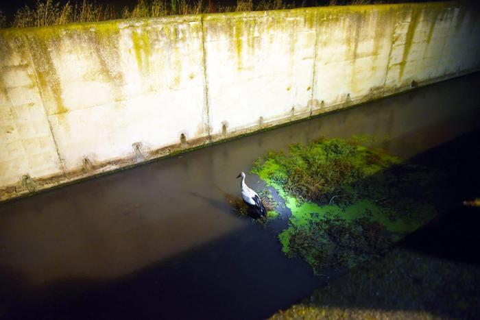 Salvata una cicogna investita da un'autovetturaI vigili del fuoco la recuperano da un canale