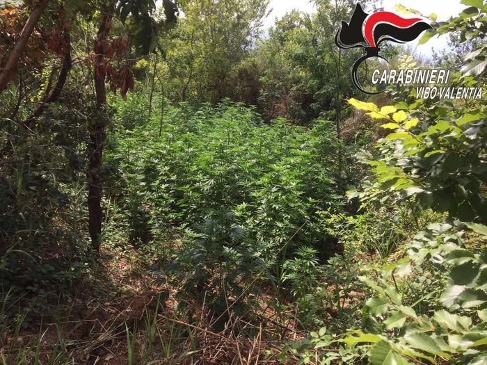 Sorpresi ad irrigare una piantagione di canapaDue fratelli arrestati nel Vibonese con 400 arbusti