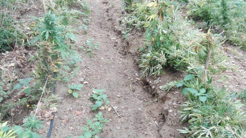 Piantagione scoperta nel Vibonese con vista mareCirca 10.000 arbusti con area per essiccamento