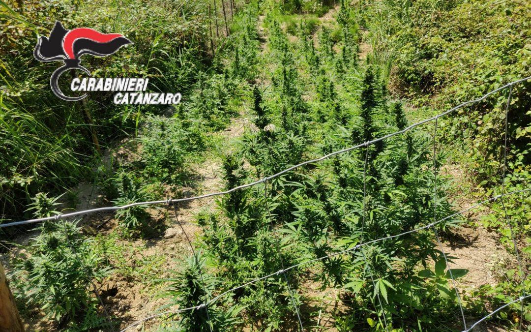Catanzaro, scoperta piantagione di marijuana, 3 denunce Una volta sul mercato avrebbe fruttato 120 mila euro
