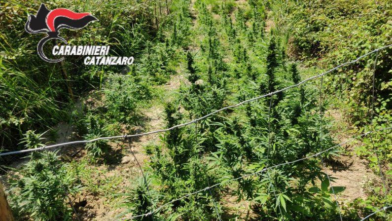Catanzaro, scoperta piantagione di canapa, 3 denunceUna volta sul mercato avrebbe fruttato 120 mila euro