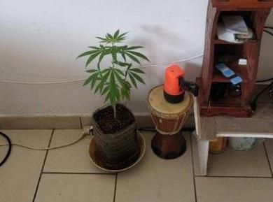 La pianta di canapa