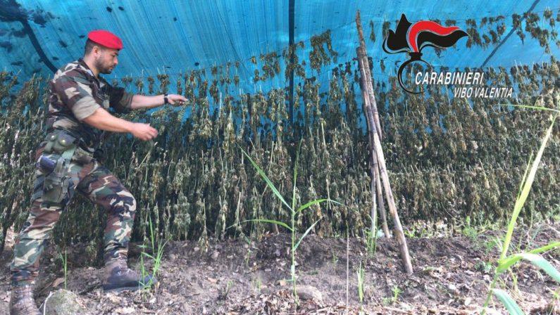 Vibo, 9000 piante di cannabis scoperte dai carabinieriC'era anche un deposito con 23 chili di piante essiccate