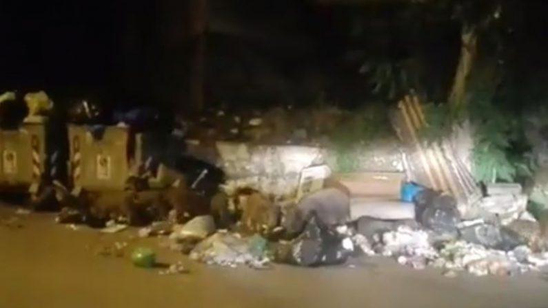 VIDEO - I cinghiali mangiano tra i cumuli dei rifiutiGli animali sempre più numerosi in pieno centro