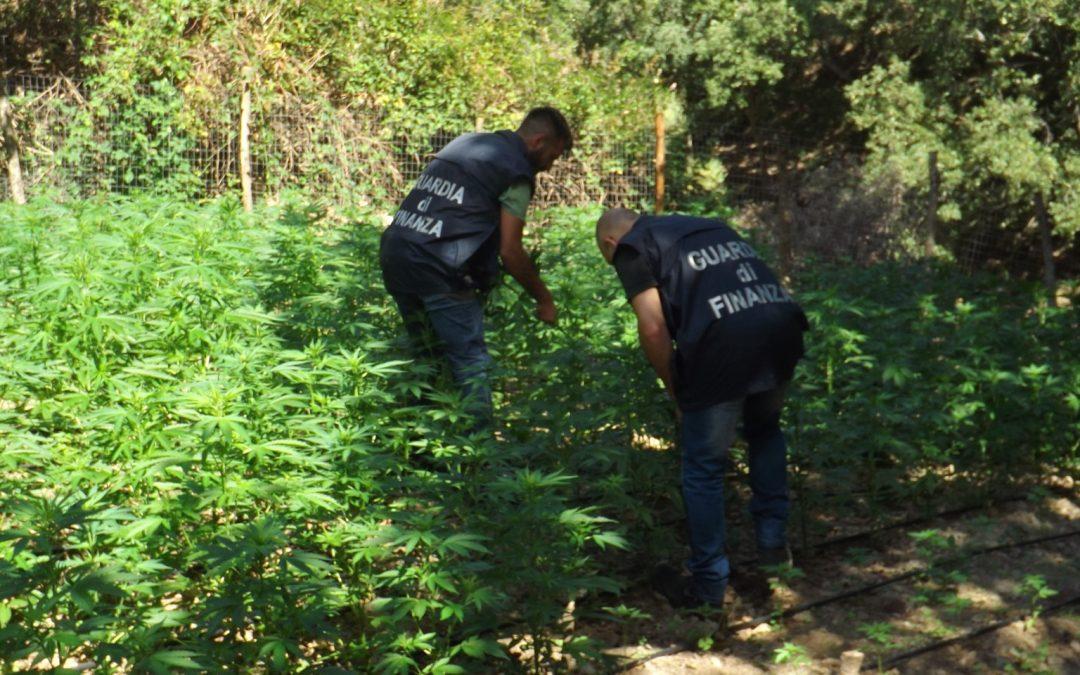 Scoperta nel reggino una enorme piantagione di canapa  La marijuana essiccata avrebbe fruttato oltre 10 milioni di euro
