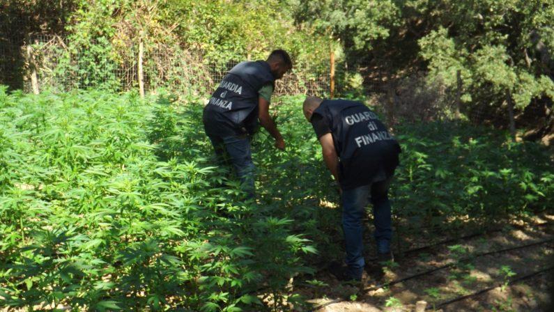 Scoperta nel reggino una enorme piantagione di canapaLa marijuana essiccata avrebbe fruttato oltre 10 milioni di euro