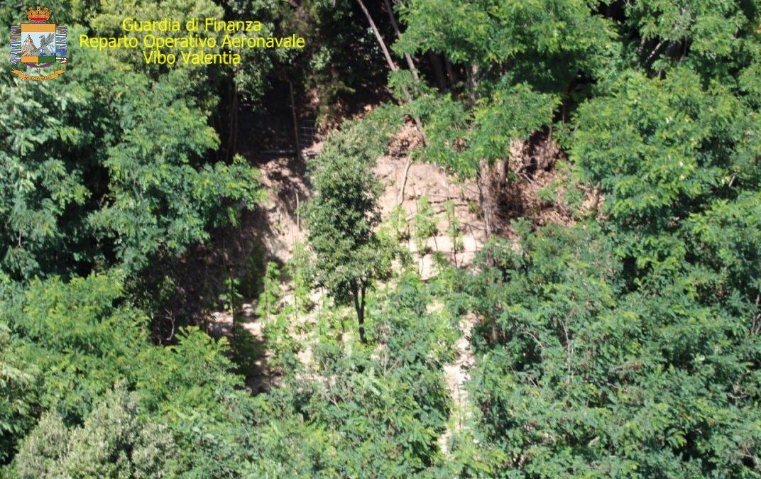 Piantagione di canapa indiana scoperta nel Vibonese  Tra i boschi di Fabrizia piante per un valore di 500 mila euro