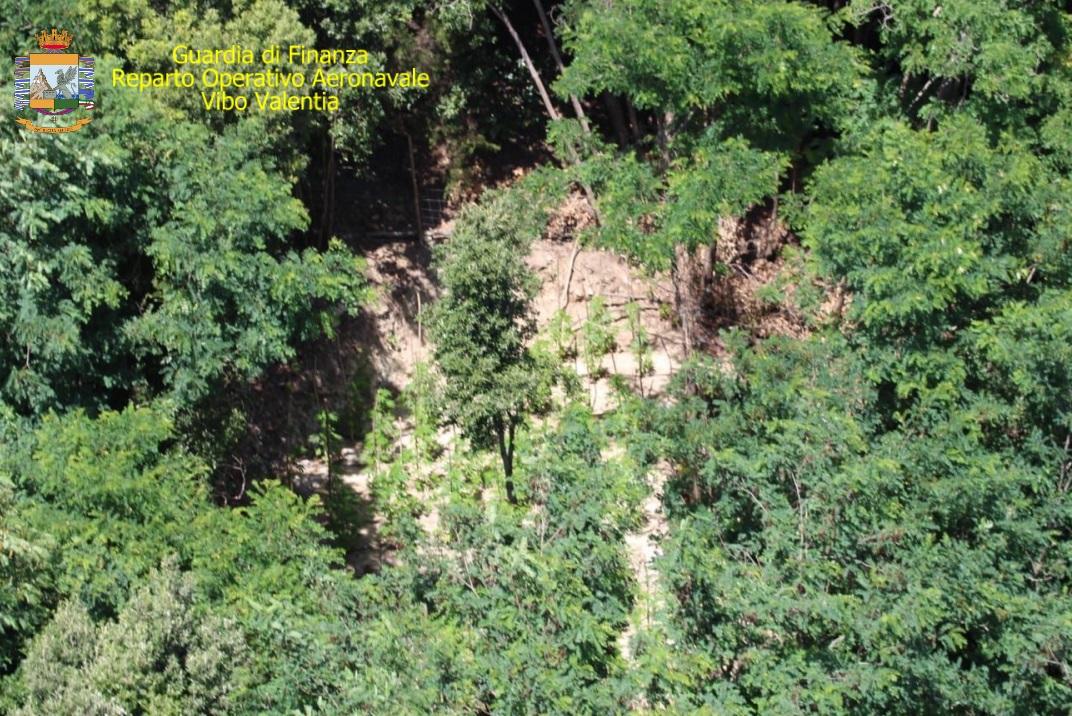 Piantagione di canapa indiana scoperta nel ViboneseTra i boschi di Fabrizia piante per un valore di 500 mila euro