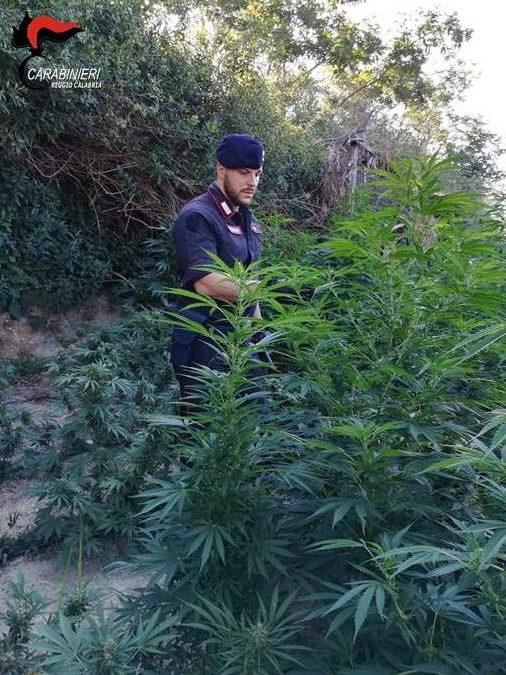 Sorpreso ad irrigare una piantagione di marijuana  Arrestato un uomo di 43 anni nel Crotonese