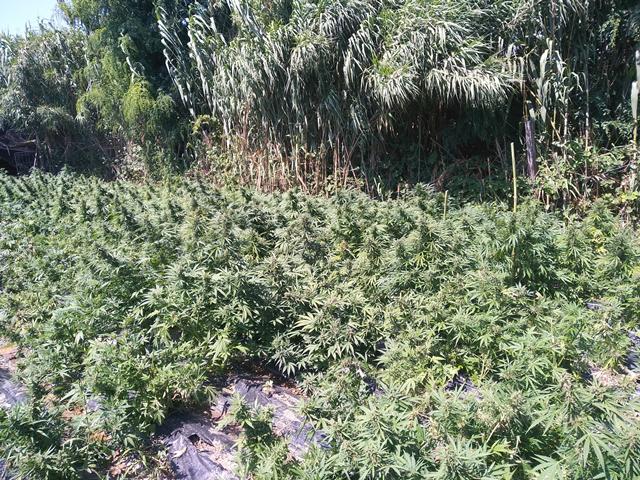 Piantagione con mille chili di marijuana nel RegginoValeva otto milioni di euro, arrestate due persone