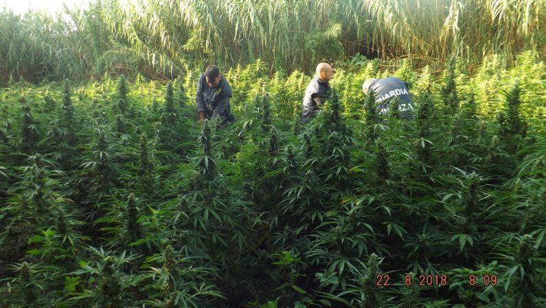 Scoperte migliaia di piante di canapa nel RegginoCon vendita marijuana ricavi per 36 milioni di euro