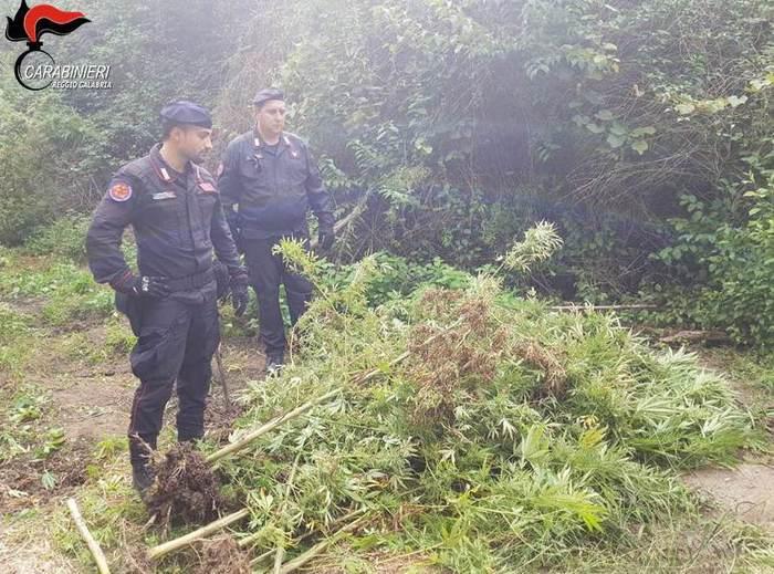 Coltivavano canapa indiana in un terreno del RegginoArrestate dai carabinieri due persone e sequestrate 170 piante