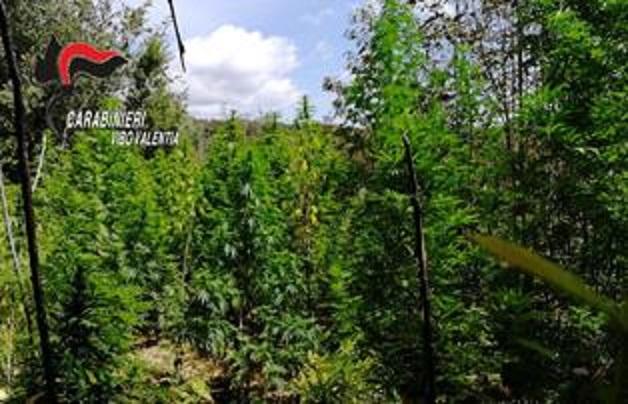 Scoperte 5 piantagioni di canapa nei boschi del viboneseRaccolta ed essiccata avrebbe fruttato oltre 5 milioni