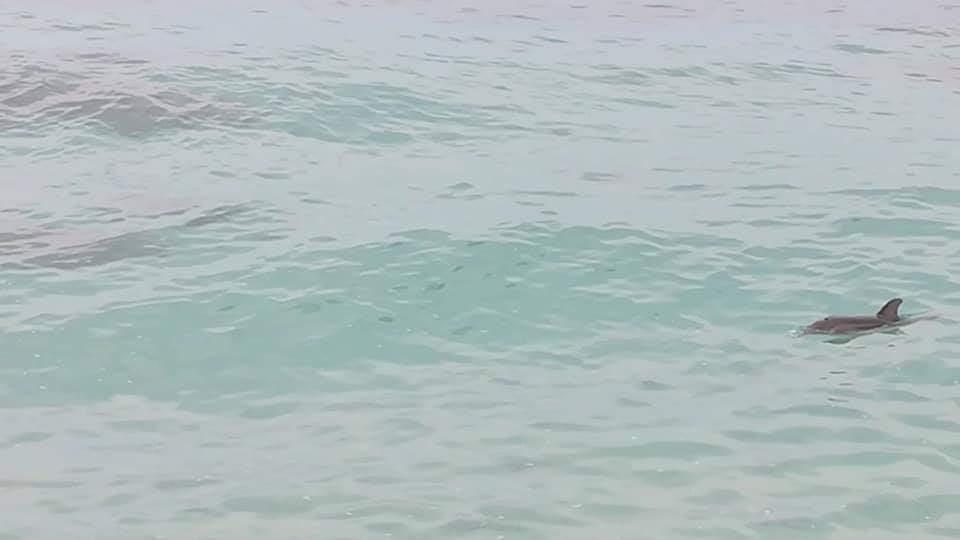 Un esemplare di delfino avvistato a Capo VaticanoIl mammifero nuotava nei pressi della riva