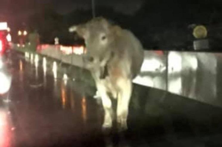 Una vacca vaga sul raccordo autostradale a ReggioFerito un vigile del fuoco intervenuto per recuperarla