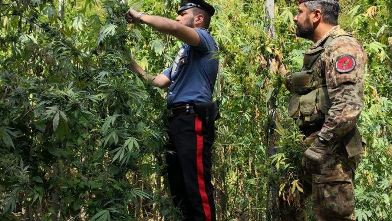 Coltivavano 300 piante di marijuana nel RegginoPadre e figlio arrestati dopo cinque mesi di indagini