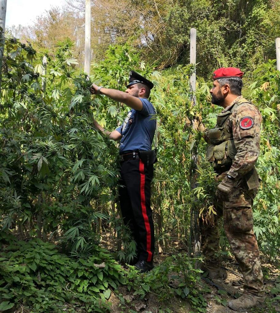 Una piantagione di canapa scoperta nel ViboneseSono oltre 120 gli arbusti scoperti in zona impervia