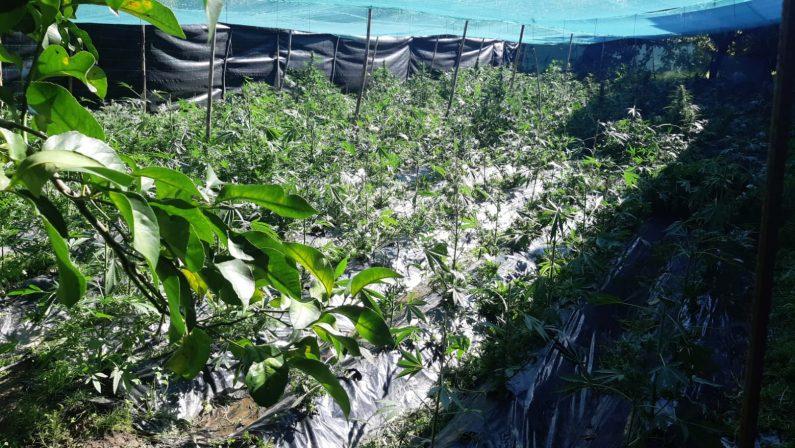 Piantagione di canapa indiana scoperta a RosarnoMille piante nascoste tra muri di cemento armato