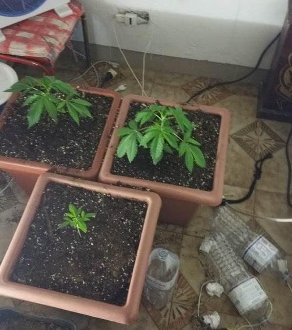 Intervengono per soccorrere il padre e arrestano il figlio  Polizia scopre serra e piante di marijuana a Catanzaro