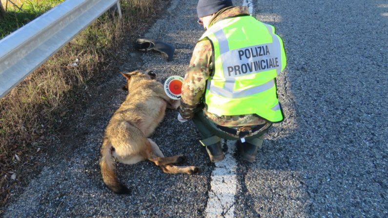 Travolto e ucciso da un'auto un raro esemplare di lupoLa carcassa affidata al Centro natura del Cupone