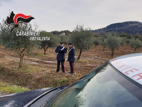 Tagliati alberi di ulivo ad imprenditore viboneseVittima denuncia intimidazione, avviate le indagini