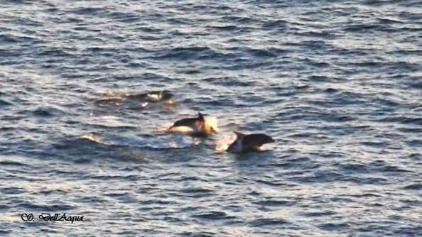 Il delfino ripreso al largo di Nicotera