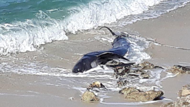 Un balenottero spiaggiato e morto nel ViboneseL'esemplare forse colpito da una nave al largo