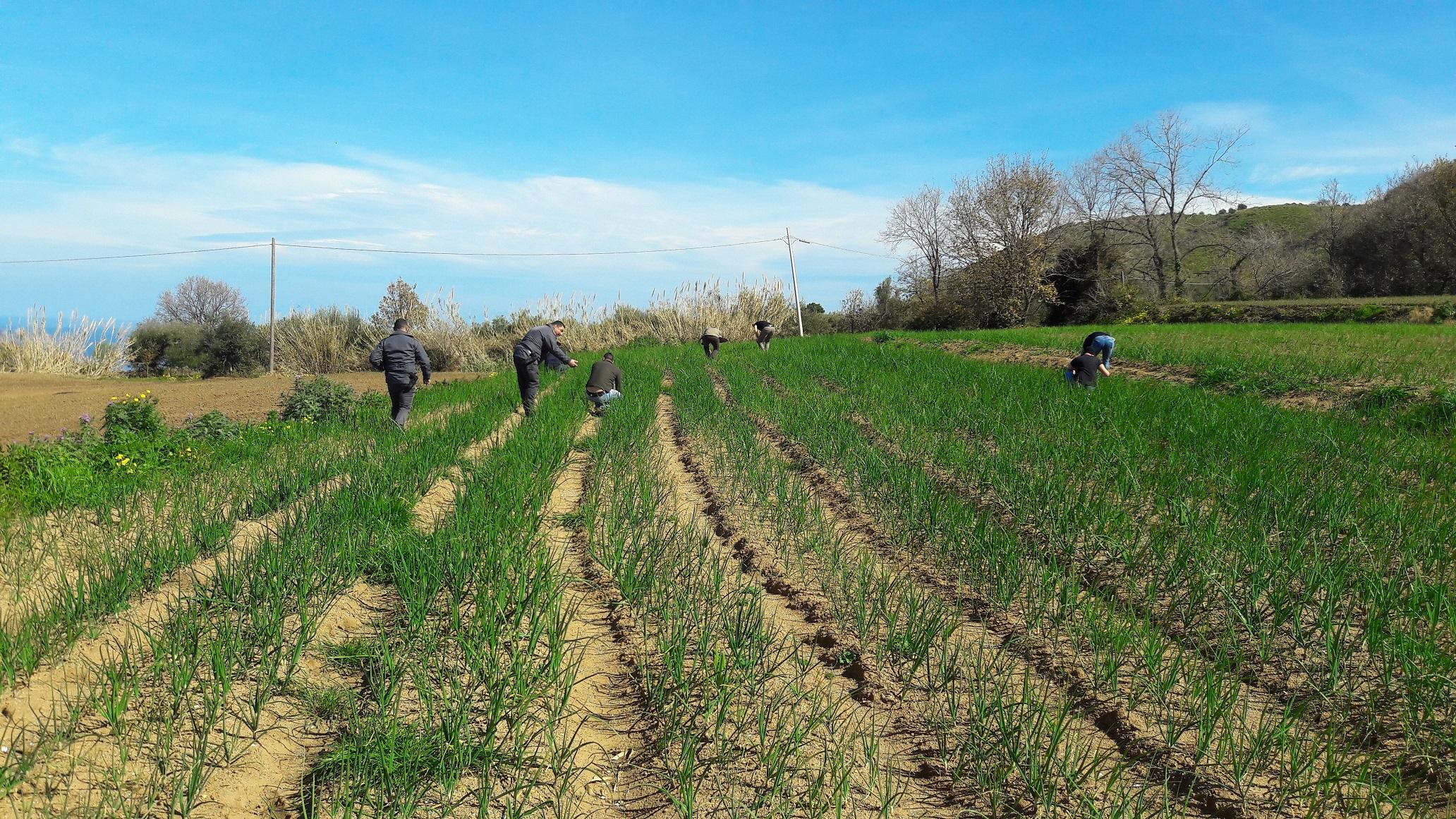 """A lavoro nei campi del Vibonese 12 persone """"in nero""""  Maxi sanzione per imprenditore agricolo: 36.000 euro"""